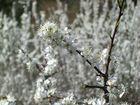 Blütenmeer - Schlehen