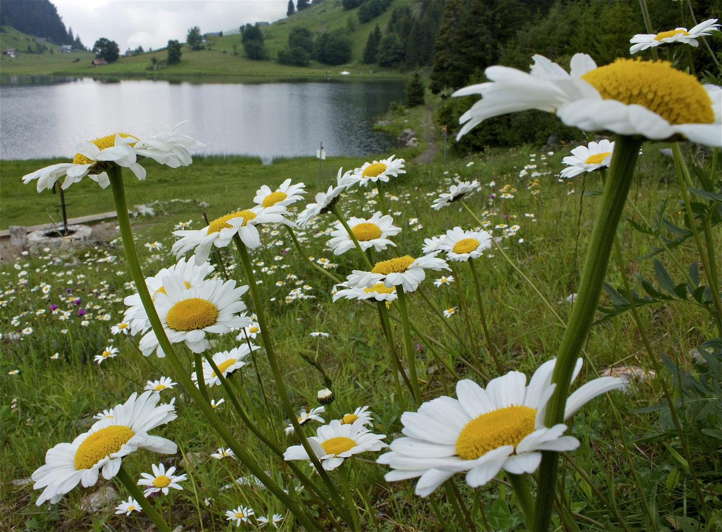 Blütenpracht am Golzernsee, Maderanertal