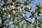 Blütenpracht am Rhein