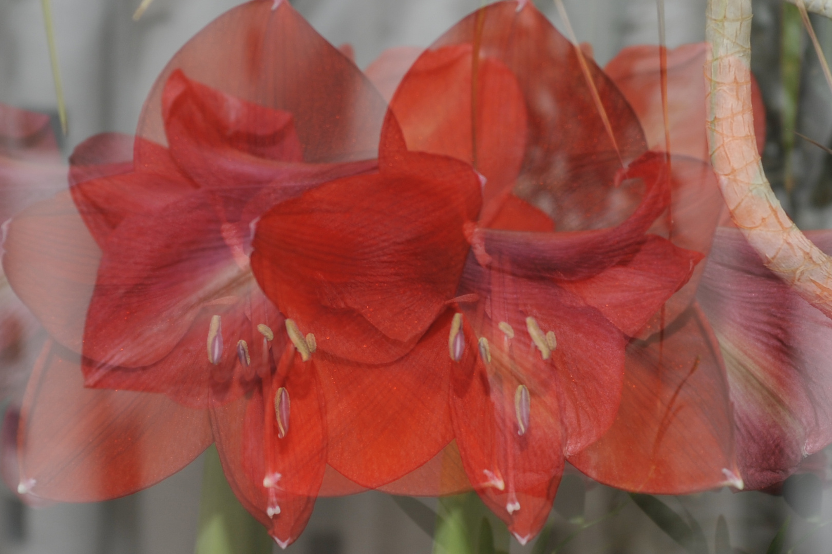 Blütenpracht (Amarillis)