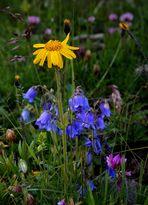 Blütenpracht auf der Bergweide