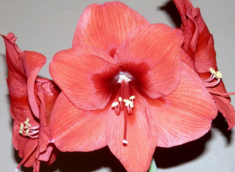 Blütenpracht der Amaryllis