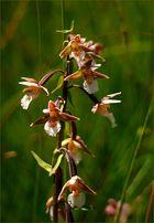 Blütenpracht der Sumpfstendelwurz...