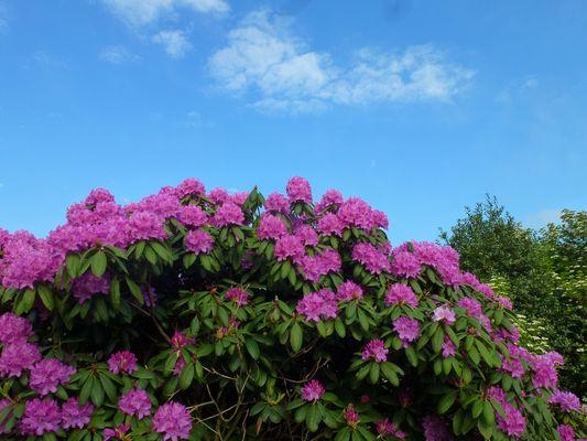 -Blütenpracht-