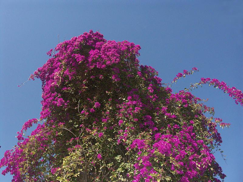 Blütenpracht in Kapharnaum