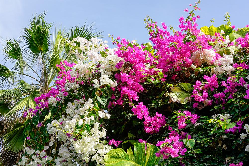 Blütenpracht in Puerto de la Cruz, Teneriffa