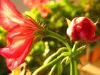 Blütenpracht vom Balkon