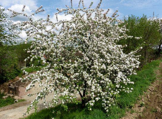 -Blütenrausch in Weiß...