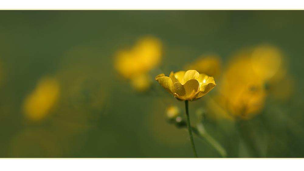 Blütenreigen in Gelb