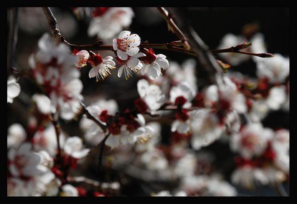 Blütenschimmer