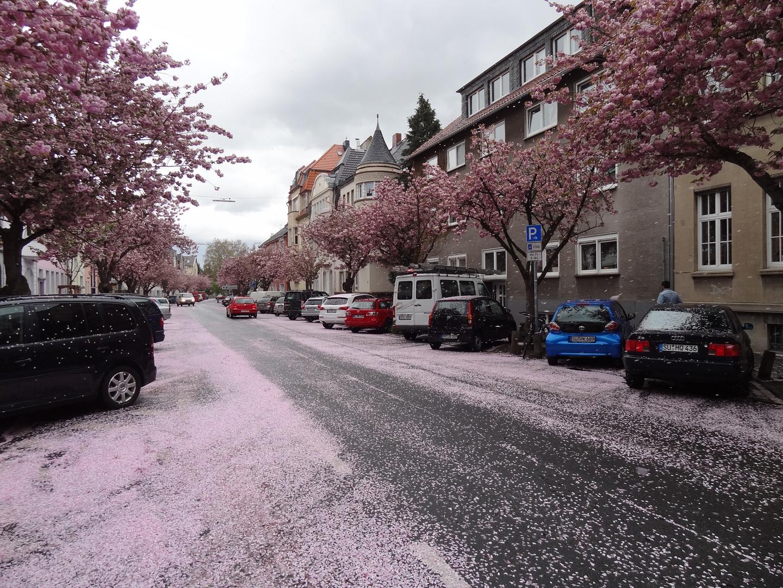 Blütenschnee in Bonn-Beuel