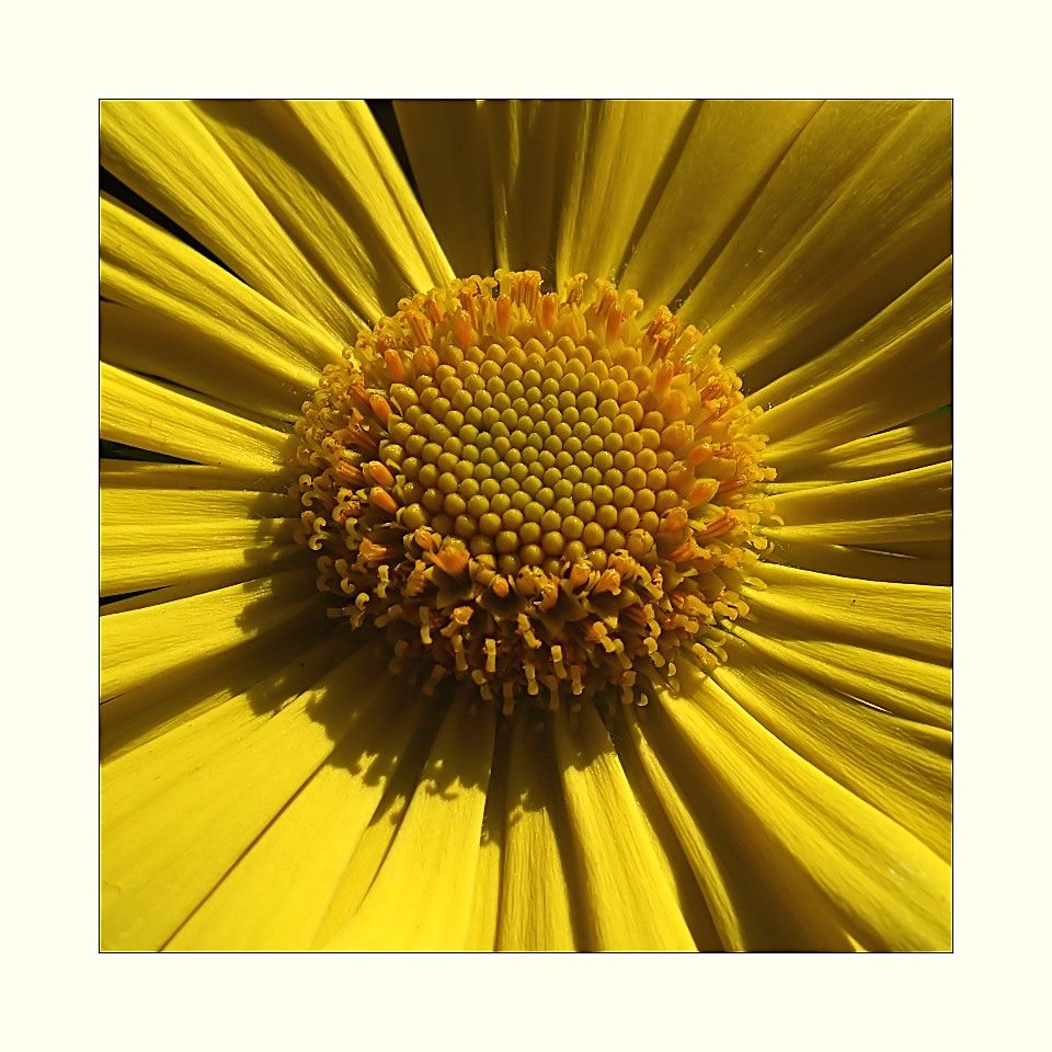 Blütensonne