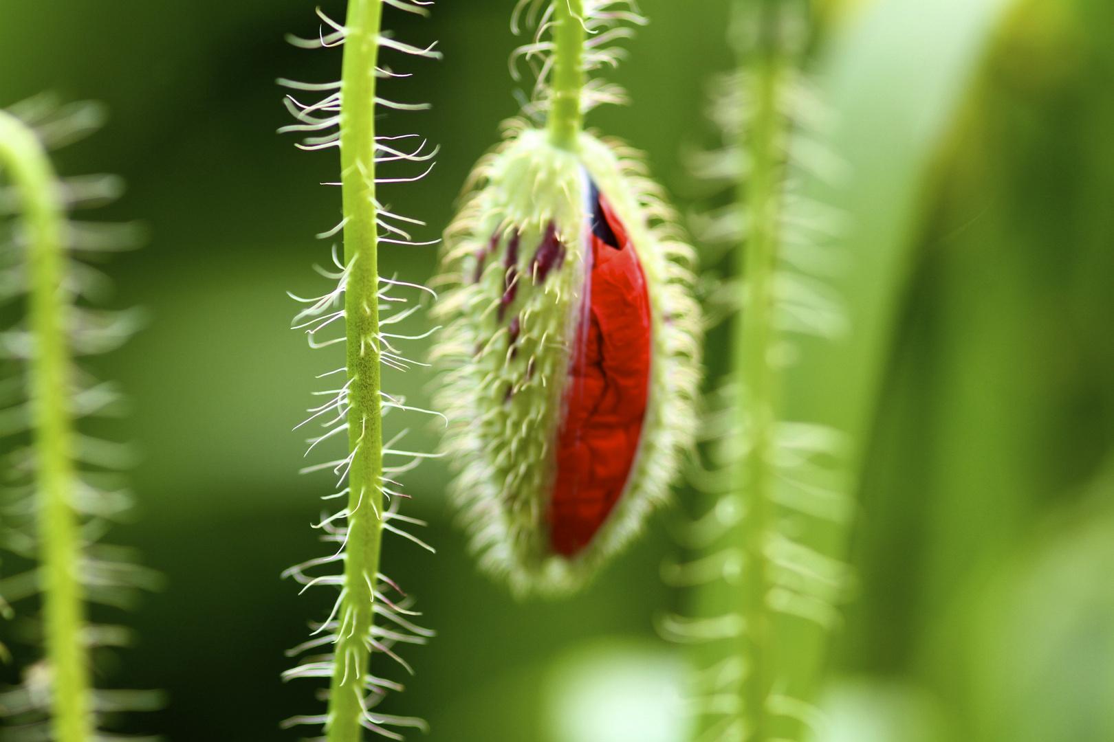 Blütensprung