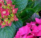 Blütenstadien der Hortensie