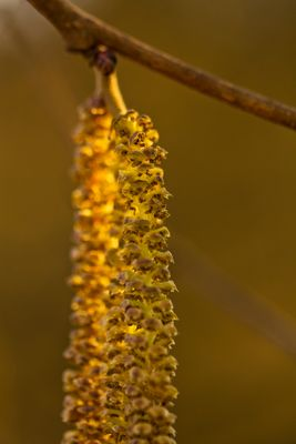 Blütenstand der Hänge-Birke (Betula pendula)
