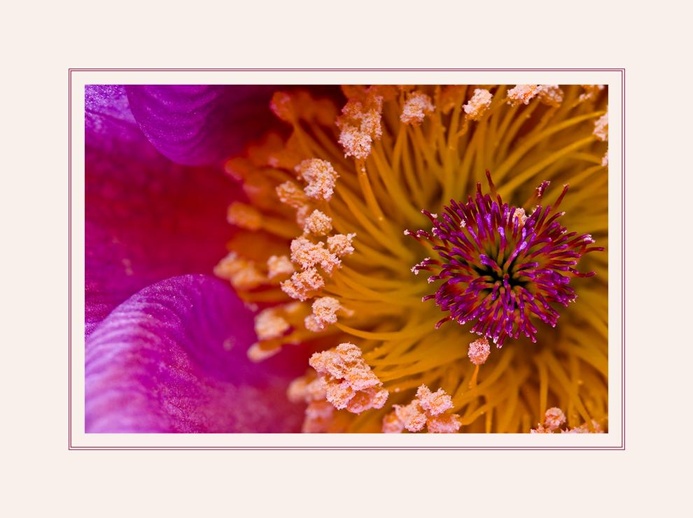 Blütenstand der Küchenschelle