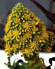 Blütenstand des Rosetten-Dickblatt