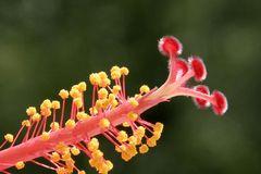 Blütenstand einer Hibiskusblüte (2)