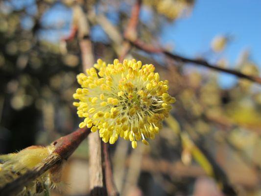 Blütenstand einer kleinen Hängeweide