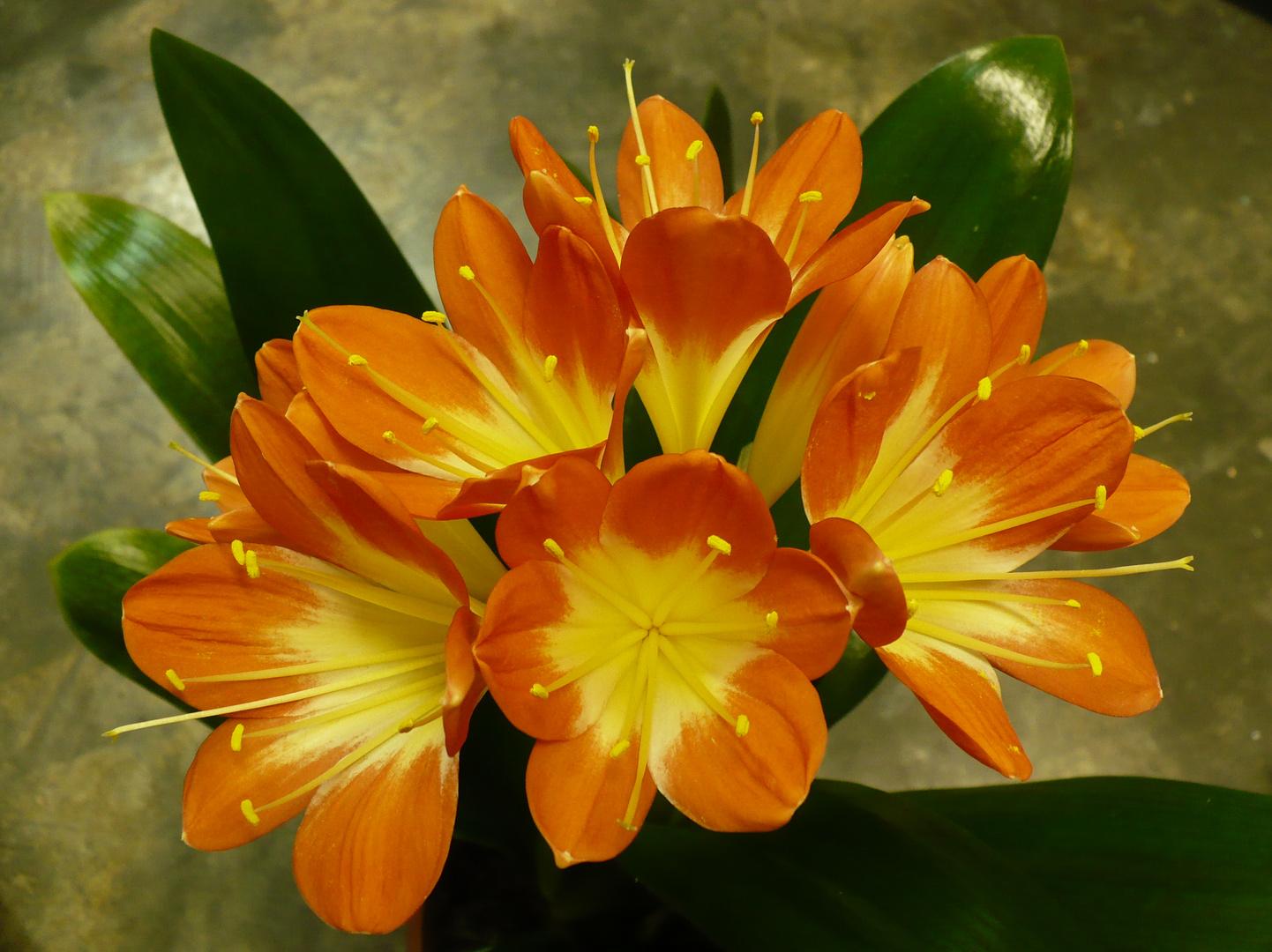 Blütenstand einer Klivie