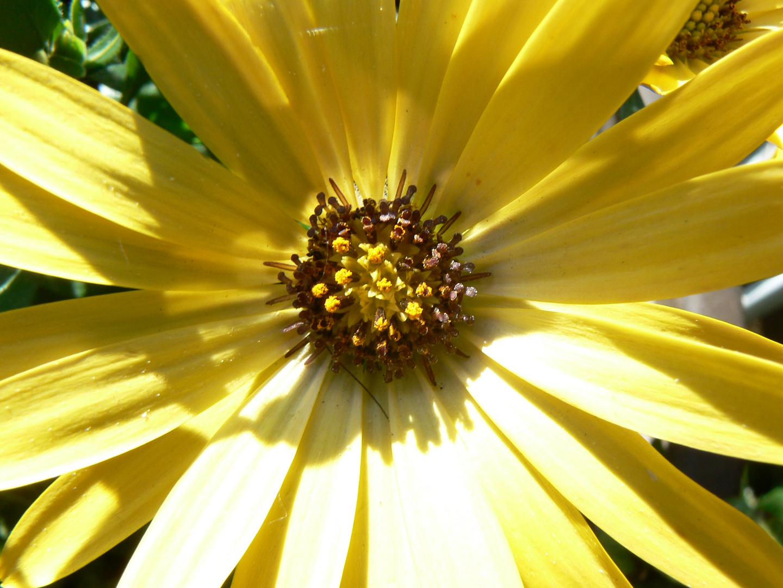 Blütenstand Kapkörbchen