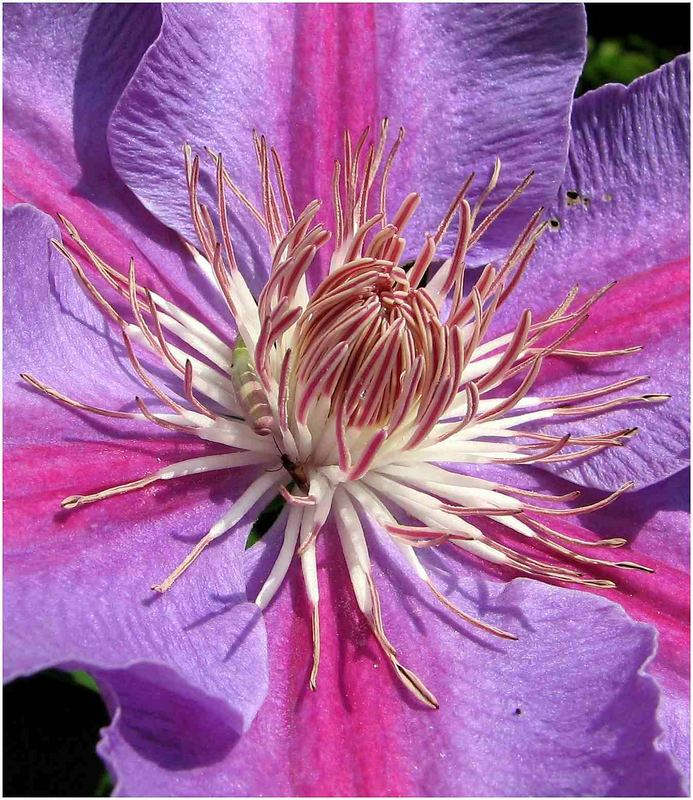 Blütenstand/Clematis