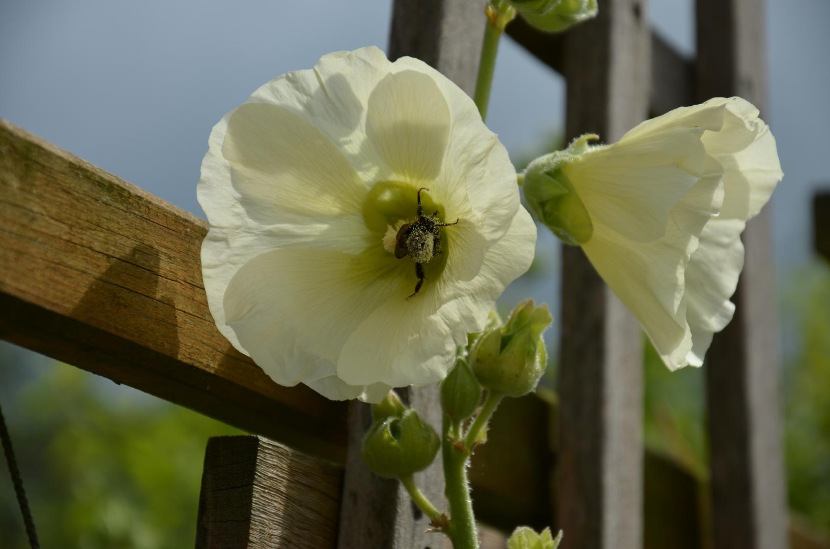 Blütenstaub sammeln
