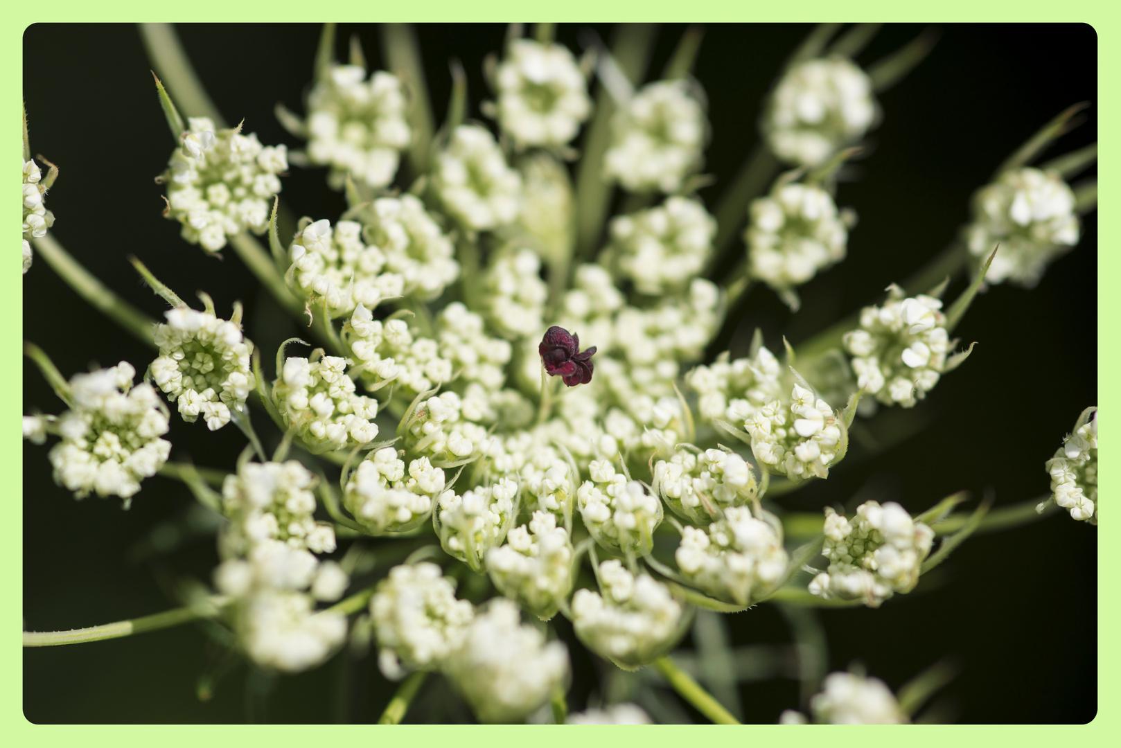 Blütenstempel eine wilden Möhre