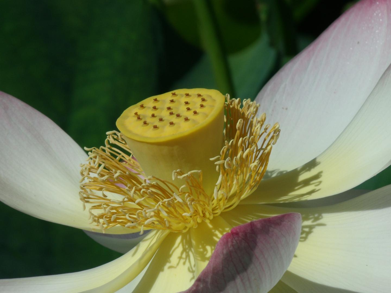 Blütenstempel einer Lotusblüte