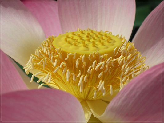 Blütenstempel einer Seerose