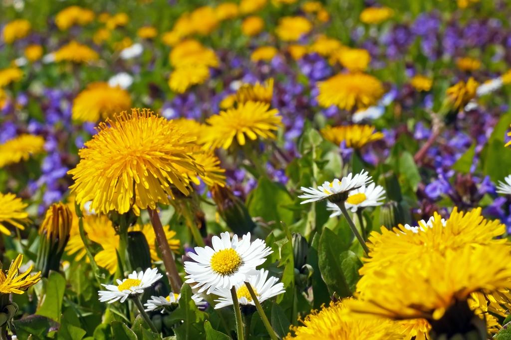 Blütenteppich im Weinberg
