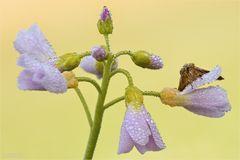 Blütenteufelchen