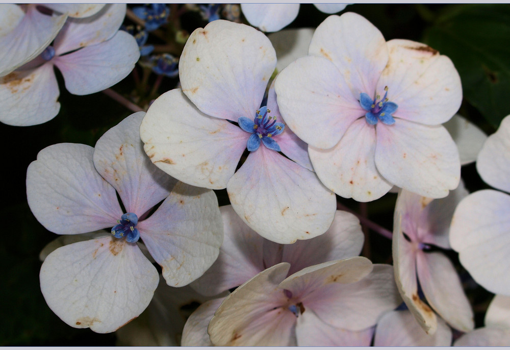 Blütenträume...