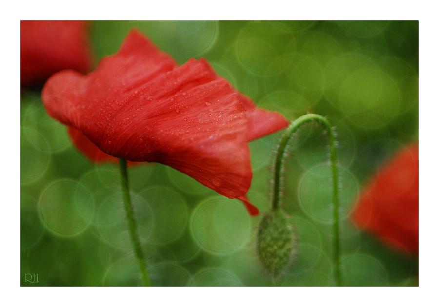 Blütenträume IV