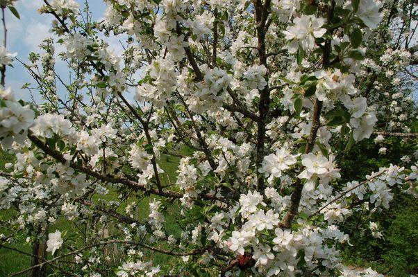 Blütentraum...