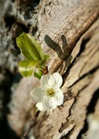 Blütentraum I
