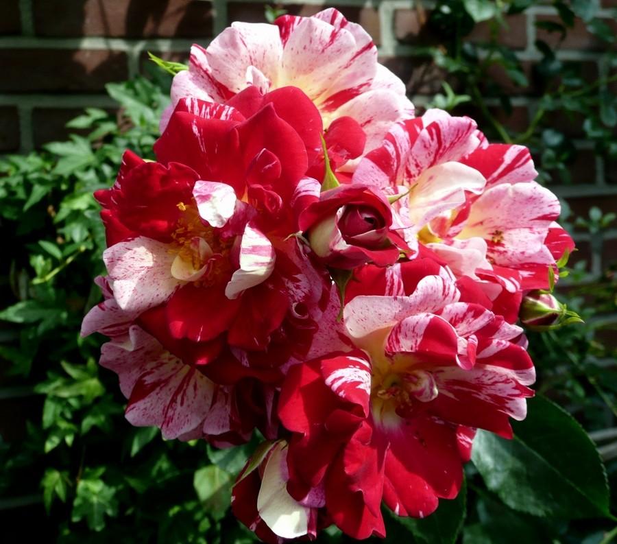 Blütentraum in Rotweiß