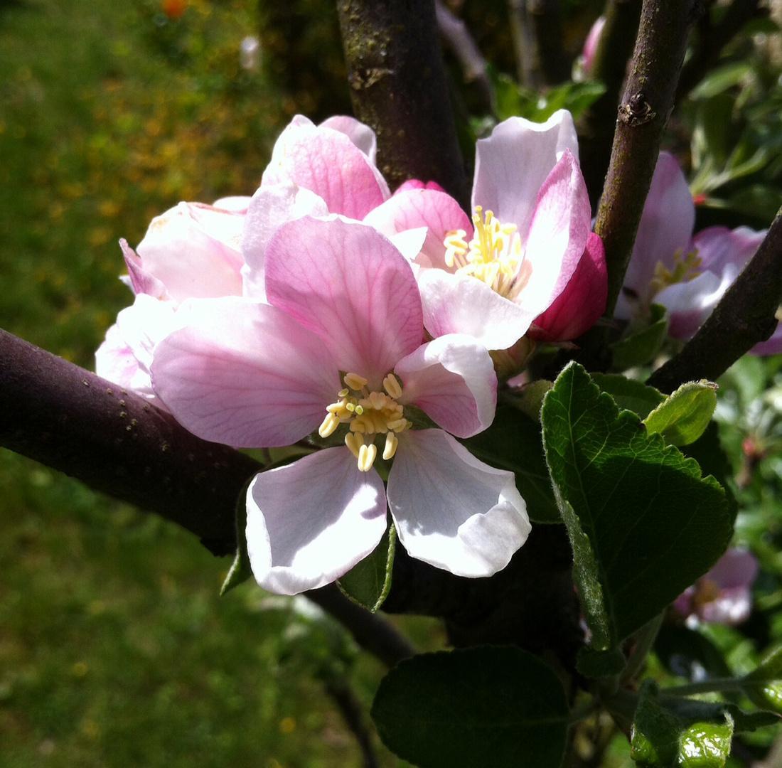 Blütenzart...