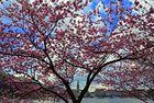 Blütenzauber an der Alster in Hamburg