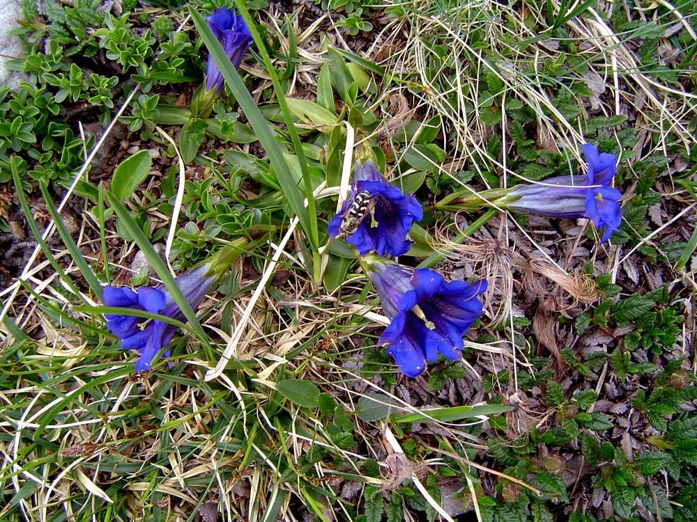 Blütenzauber Enzian