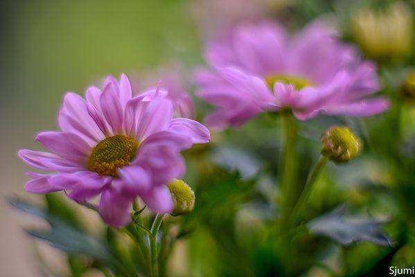 Blütenzauber in Magenta