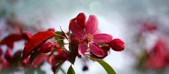 Blütenzauber - Purpur Apfel