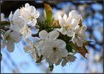 Blütenzauber.....aus meinem Garten