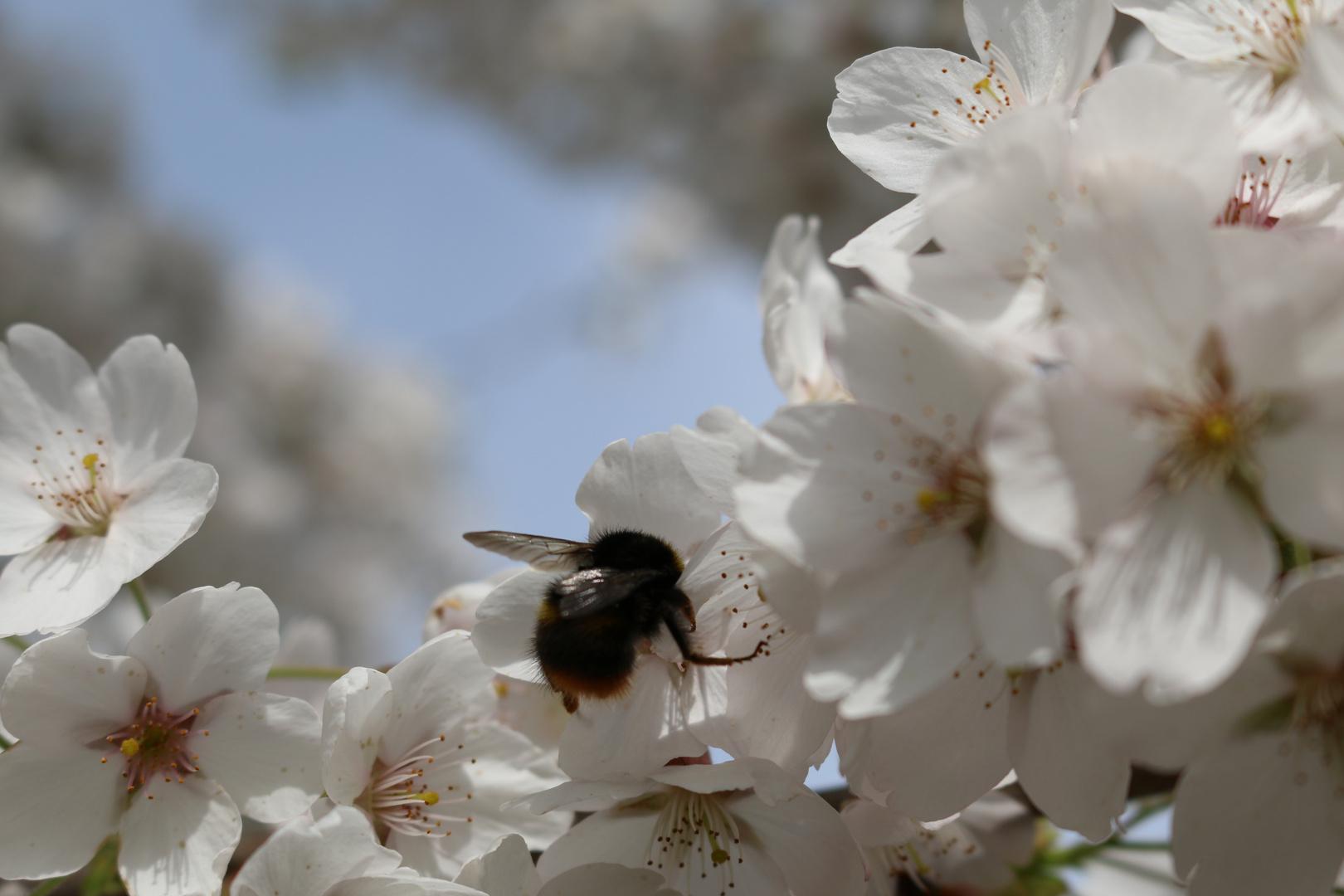 Blütenzeit mit Hummel