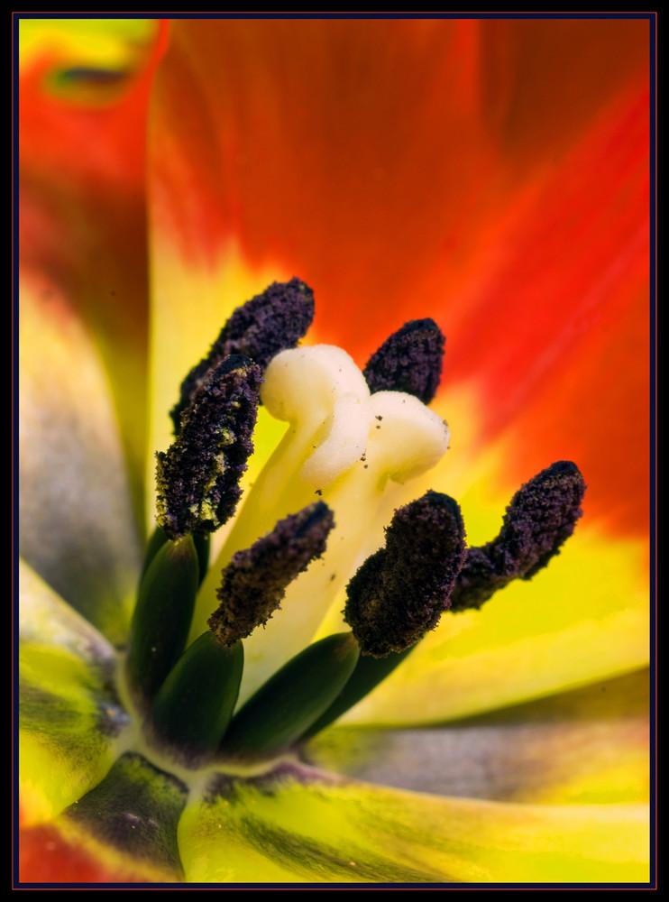Blütenzentrum der Tulpe