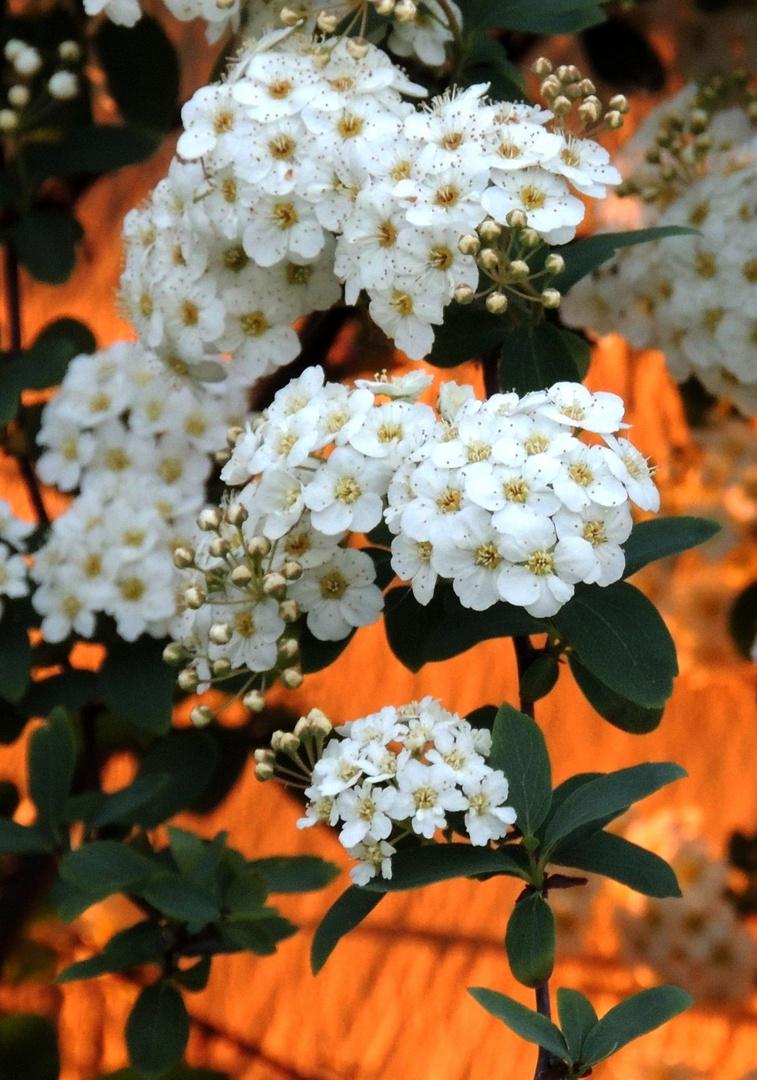 Blütenzweig im Abendlicht II