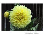 Blütezeit der Dahlien (2)