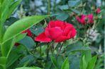Blütezeit der Rosen (13)