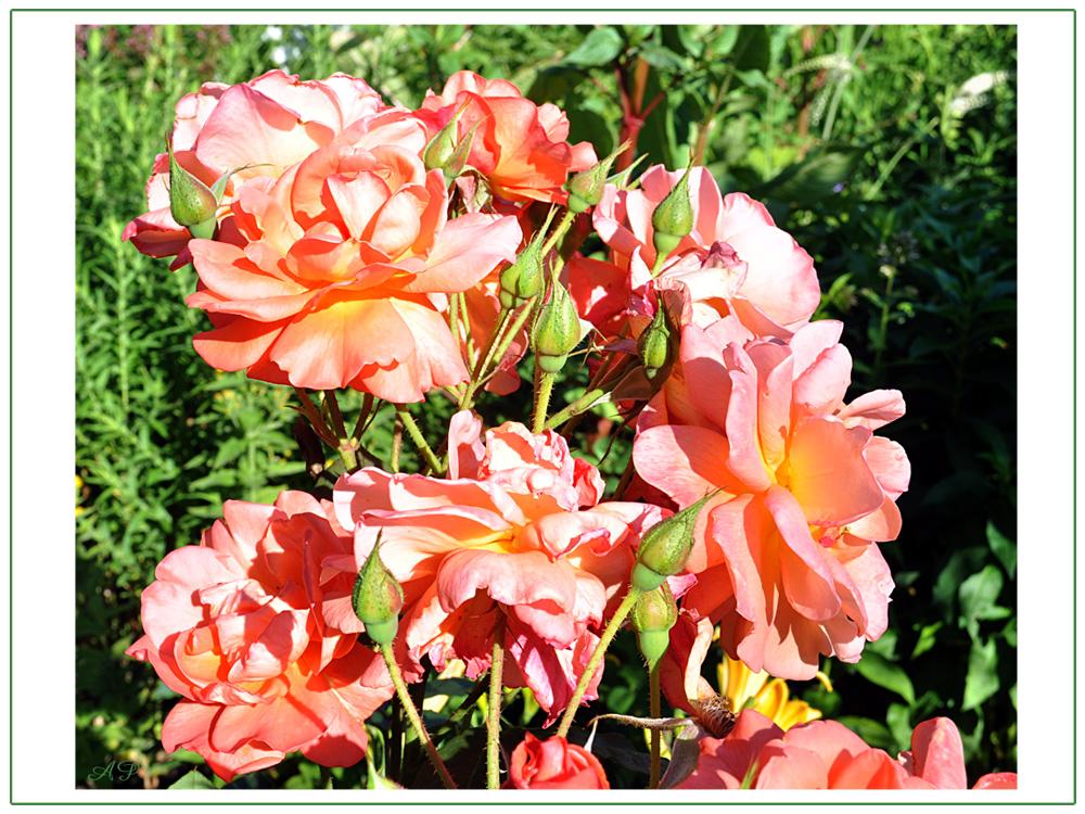 Blütezeit der Rosen (16)