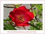 Blütezeit der Rosen (3)